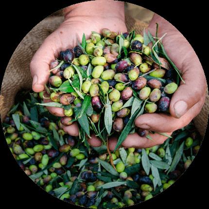 ELTRO Olives